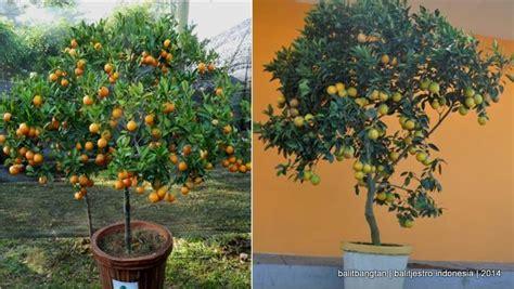 Jual Bibit Jeruk Nipis Sudah Berbuah teknologi budidaya tabulot jeruk balitjestro