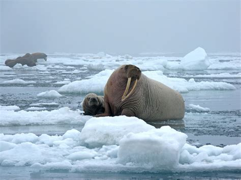 Pacific Walruses Studied as Sea Ice Melts