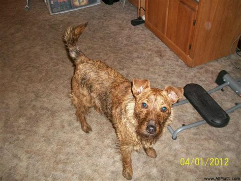 yorkie border terrier mix border terrier poodle mix www imgkid the image kid has it