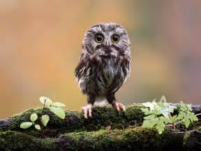 pictures of owls for wallpapers owl