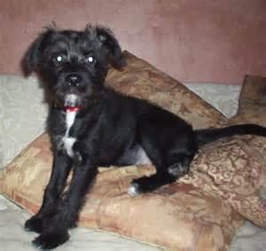 Related pictures schnoodle puppy for sale