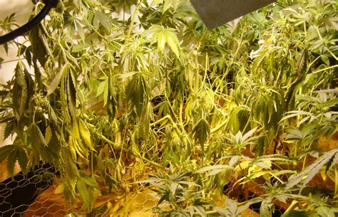 worldwide indoor marijuana grow guide    easy