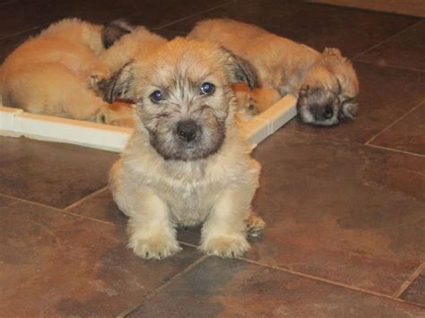 glen of imaal terrier puppies for sale pedigree glen of imaal terriers lockerbie dumfriesshire pets4homes