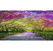 Spring Central Park Awash In Cherry Blossoms New York City