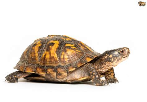 imagenes html slider turtles that live on land pets4homes
