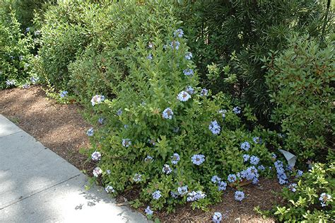 Backyard Farm Cape Plumbago Plumbago Auriculata In Wilmette Chicago