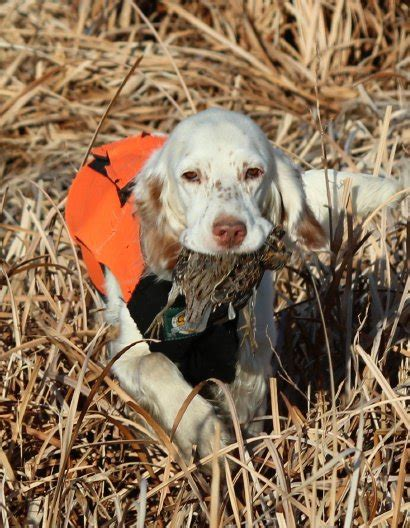 english setter gun dog breeders beirl s english setters hunting dog breeders