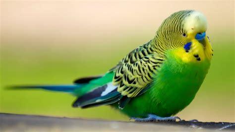 imagenes de pericos verdes periquitos australianos megapost taringa