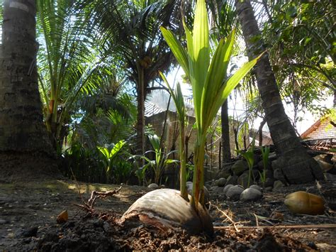 Harga Bibit Kelapa Entok bibit kelapa kopyor