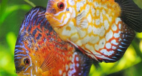 file al tropical cuties how to keep tropical fish best fresh water tropical fish