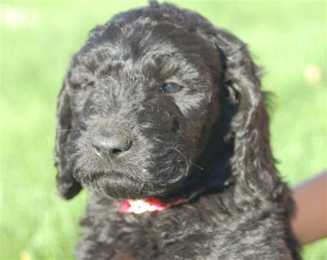 goldendoodle puppy breathing fast f1b goldendoodle puppy doodles portland or minnie