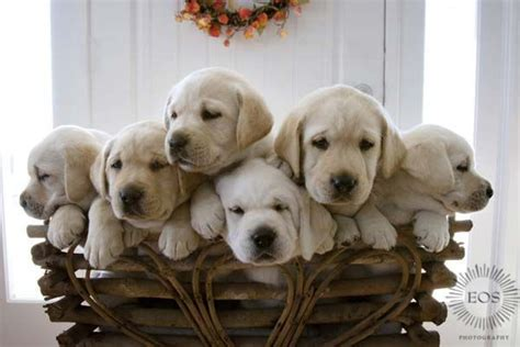 baby lab puppies baby labradors animals labradors and so