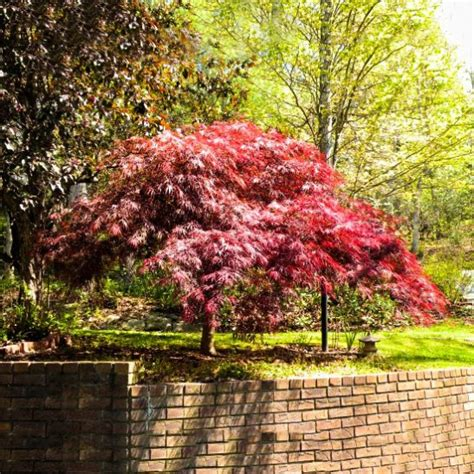 Ecer Platinum japanese maple for sale the tree center