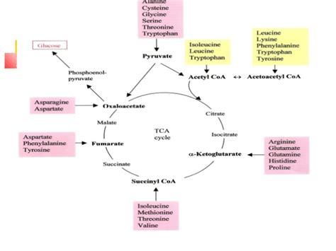 protein metabolism protein metabolism