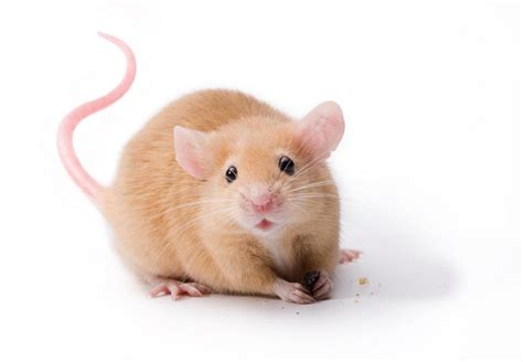 mouse animal www pixshark com images galleries with a bite