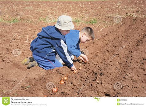 boy onion boys sowing onion stock photo image of gardening bulb