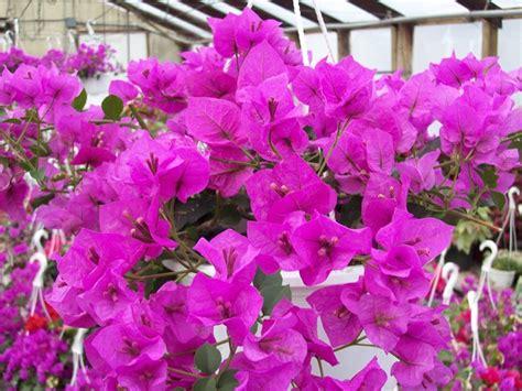 potatura bouganville in vaso potatura bouganville tecniche di giardinaggio