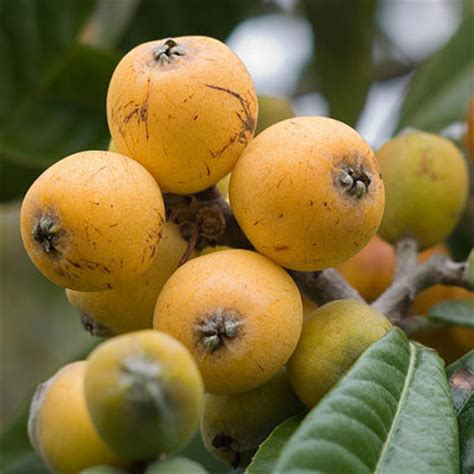 fruit with seeds or pits fruits and vegetables different uncommon fruits