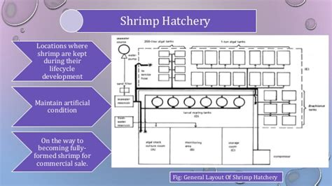 Layout Of Shrimp Hatchery | shrimp hatchery