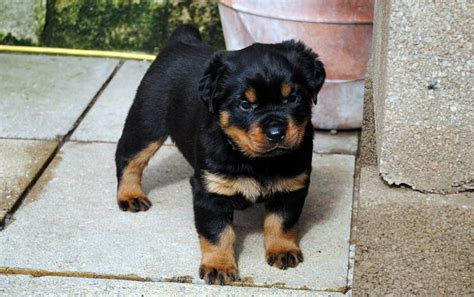 purebred rottweilers for sale purebred rottweilers puppies for sale rustenburg ads south africa