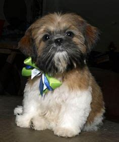 yorkie shih tzu haircuts 1000 images about puppy cuts on shih tzu yorkie puppy and haircuts