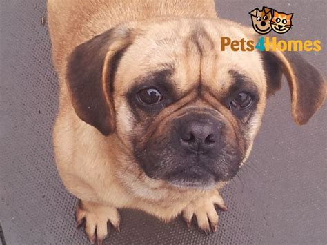 pugs cross beagle beagle cross pug west bromwich west midlands pets4homes