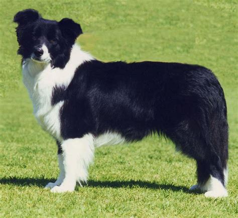 images of border collie puppies border collie puppies breeds picture