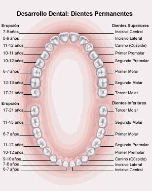 imagenes dientes temporales nombre de los dientes