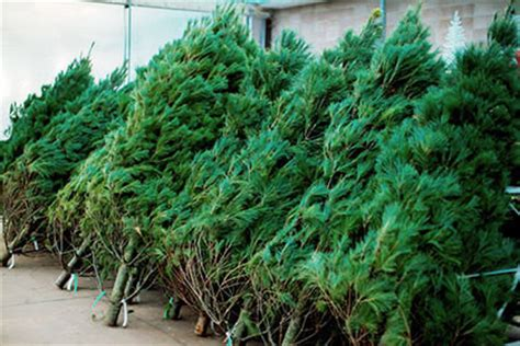 best prices on fresh cut trees your best poinsettia tree and decor store in calgary