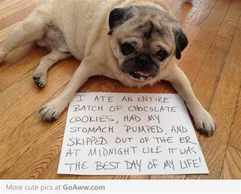 cookie pug pug shaming pugs pugs just pugs pugs lol and cookie