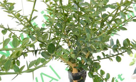 periodo potatura limone in vaso 79 pianta limone informazioni e potatura coltivarla