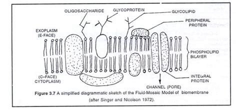 diagram of the fluid mosaic model eukaryotic cells cell and plasma membrane