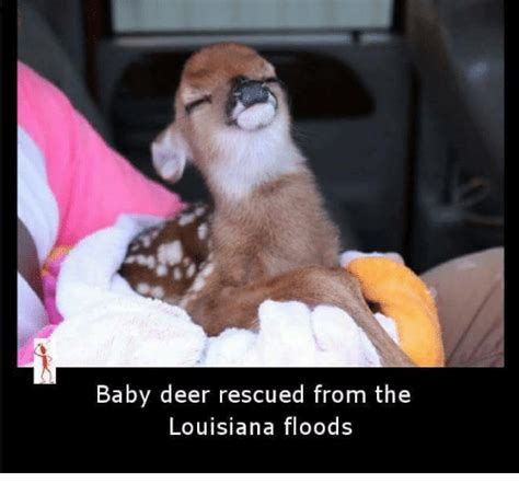 Louisiana Meme - baby deer rescued from the louisiana floods deer meme on