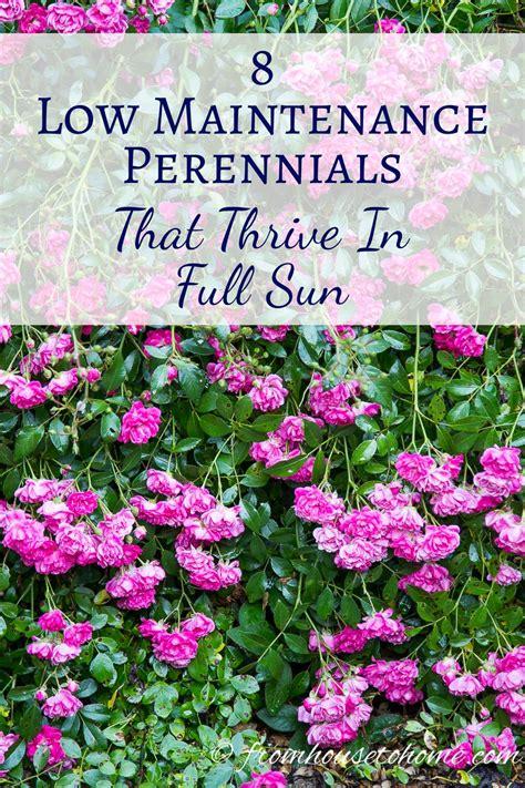 low flowering shrubs sun sun perennials 8 low maintenance plants that thrive