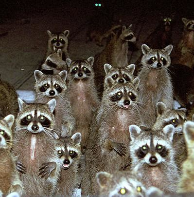 Backyard Wildlife Camera Brooklyn Is Being Invaded By Raccoons Natural Unseen