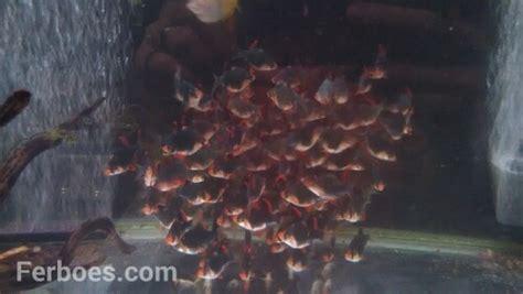 Makanan Ikan Hias Sumatra ikan sumatra ferboes
