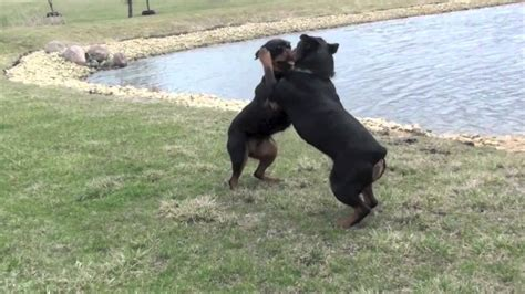 puppy vs real rottweiler vs german shepherd fight www imgkid the image kid has it