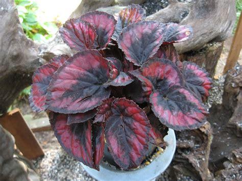 rex begonias   grow propagate  care  begonia