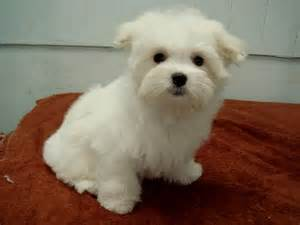 Maltese dog puppy cut pictures maltese puppy cut images maltese