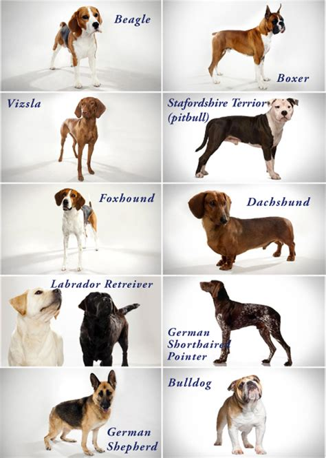 types of dogs chart breeds chart pharaoh hound breeds picture