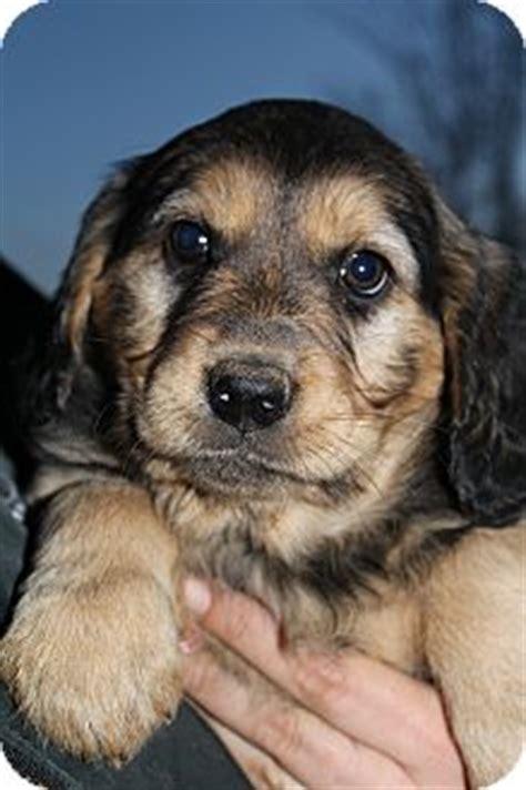 golden retriever and rottweiler mix martina mcbride adopted puppy bedminster nj golden retriever rottweiler mix