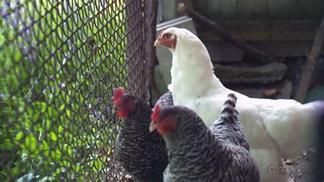 Backyard Chickens Kitchener Kitchener Suspends Enforcement Of Backyard Chicken Ban