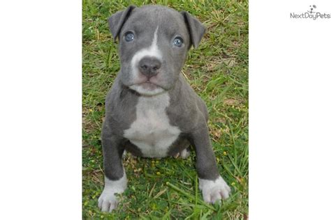 pitbull puppies for sale in houston bully pitbull puppies for sale in houston tx driverlayer search engine