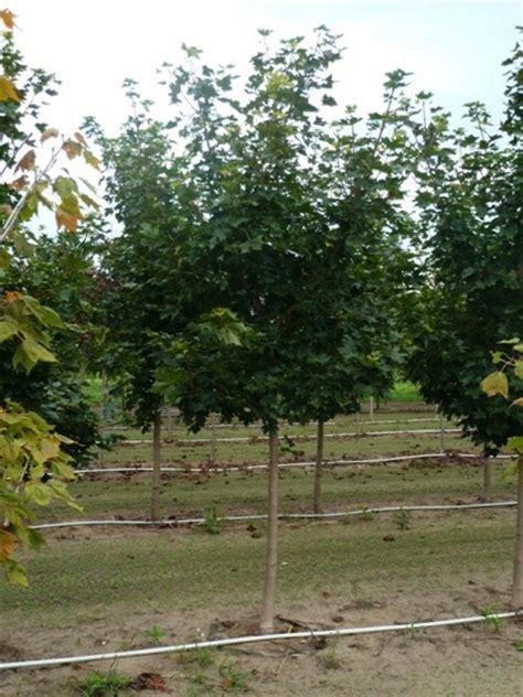 sunset maple tree root system where it all began for the bloom n nursery tree farm and nursery bloom n nursery