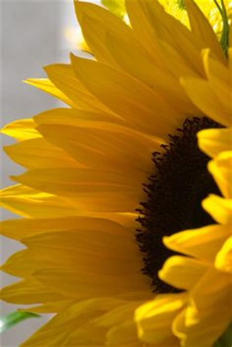 How To Make Sunflowers Out Of Tissue Paper - 1000 ideas about paper sunflowers on paper