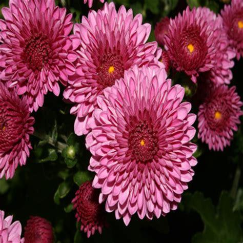 november flower birth month flower november by brish08 on deviantart