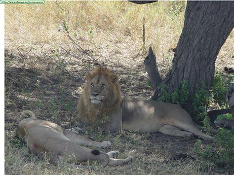imagenes de leones bravos los leones y sus caracteristicas taringa
