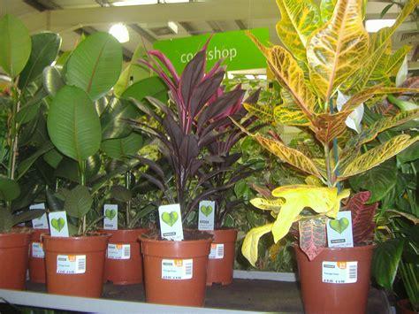 croton  rubber plants homebase    favourite