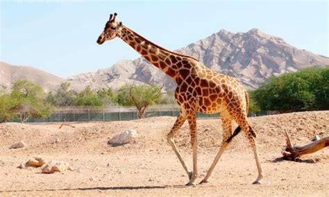 cadena alimenticia jirafa 191 cu 225 nto vive una jirafa cuantotiempovive