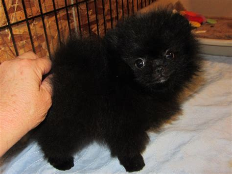 black pomeranian puppies black pomeranian